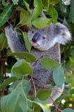Behandla som ett barn den känguruunge kubkoalan - Fotografering för Bildbyråer