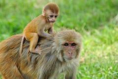 behandla som ett barn den kathmandu apan Royaltyfria Bilder