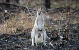 behandla som ett barn den känguruunge vallabyen Arkivbilder
