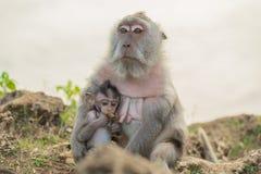 Behandla som ett barn den lösa apamodern för djurliv livsmiljön Arkivfoton