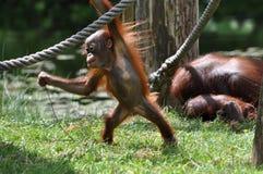 behandla som ett barn den leka zooen för orangutanen Royaltyfri Foto