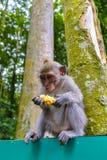Behandla som ett barn den Makkah apan som äter frukt Royaltyfri Foto