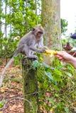 Behandla som ett barn den Makkah apan som ges bananen Royaltyfri Fotografi