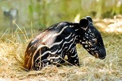 Behandla som ett barn den malayan tapir Royaltyfria Foton