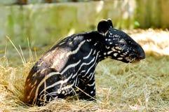 Behandla som ett barn den malayan tapir Royaltyfri Foto