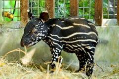 Behandla som ett barn den malayan tapir Royaltyfri Bild
