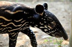 Behandla som ett barn den malayan tapir Arkivfoton