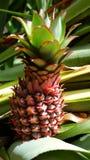 behandla som ett barn den nya ananastreen royaltyfria foton