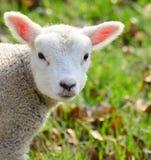 behandla som ett barn den nyfödda lamben Arkivfoto