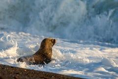 Behandla som ett barn den nyfödda sjölejonet på stranden i Patagonia Arkivfoton