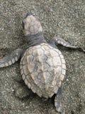 behandla som ett barn den olive ridleyhavssköldpaddan Royaltyfri Fotografi