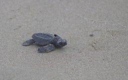 behandla som ett barn den olive ridleyhavssköldpaddan Fotografering för Bildbyråer