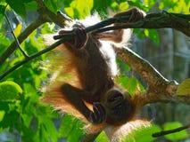 Behandla som ett barn den orangutangUtan Sumatra djungeln royaltyfri foto