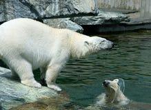 behandla som ett barn den polara björnen Arkivfoton