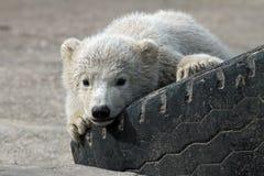 behandla som ett barn den polara björnen Royaltyfri Bild