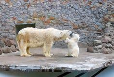 behandla som ett barn den polara kyssande modern för björnen Royaltyfri Bild