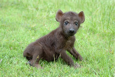 behandla som ett barn den prickiga hyenaen Royaltyfri Fotografi