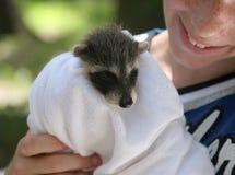 behandla som ett barn den räddade raccoonen Arkivfoton