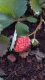 Behandla som ett barn den röda jordgubben Royaltyfri Foto