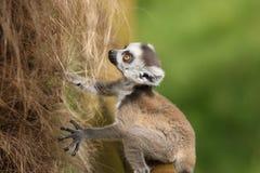 Behandla som ett barn den Ring-Tailed lemuren Arkivbild