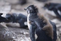 Behandla som ett barn den Rockhopper pingvinet på den norr ostkusten av östliga Falkland Royaltyfri Bild