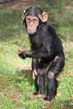 behandla som ett barn den roliga schimpansen Arkivbild