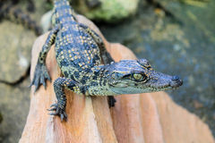 Behandla som ett barn den saltvattens- krokodilen Arkivbilder
