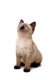 behandla som ett barn den siamese kattungen arkivbild