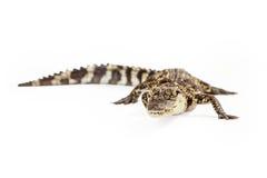 Behandla som ett barn den Siamese krokodilen som ser kameran Royaltyfria Bilder