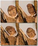 behandla som ett barn den små owlen Royaltyfri Bild