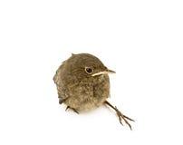 Behandla som ett barn den små sparrowen Royaltyfri Fotografi