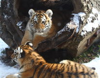 behandla som ett barn den små tigern för brodern Royaltyfri Bild