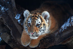behandla som ett barn den små tigern Royaltyfria Bilder