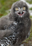 behandla som ett barn den snöig owlen Arkivbild