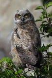 behandla som ett barn den stora horned owlen Royaltyfri Fotografi