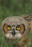 behandla som ett barn den stora horned owlen Arkivbild