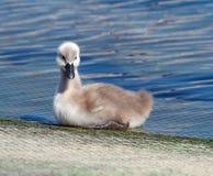 Behandla som ett barn den stumma svanen, cygnusolor Royaltyfria Foton