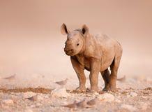 behandla som ett barn den svarta noshörningen Arkivfoto