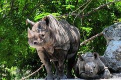 Behandla som ett barn den svarta rhinoceroen för kvinnlig & Arkivfoto