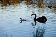 Behandla som ett barn den svarta svanen Royaltyfri Foto