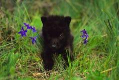 behandla som ett barn den svarta wolfen Fotografering för Bildbyråer