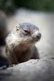 behandla som ett barn den täta marmoten upp Fotografering för Bildbyråer