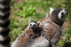 behandla som ett barn den tailed lemurcirkeln Royaltyfri Foto
