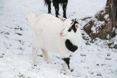 Behandla som ett barn den tibetana dvärg- geten i snön Royaltyfri Fotografi