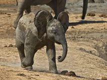 behandla som ett barn den uppnosiga elefanten Arkivfoton