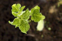 behandla som ett barn den växande växtpotatisen Royaltyfri Foto