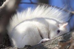 Behandla som ett barn den vita ekorren i vinterförkylning Royaltyfria Bilder