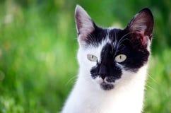 Behandla som ett barn den vita katten med det svarta huvudet och gröna ögon Royaltyfri Bild