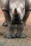 Behandla som ett barn den vita noshörning-/noshörningkalven Arkivbilder