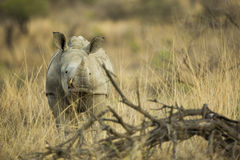 Behandla som ett barn den vita noshörningen i Sydafrika royaltyfria bilder